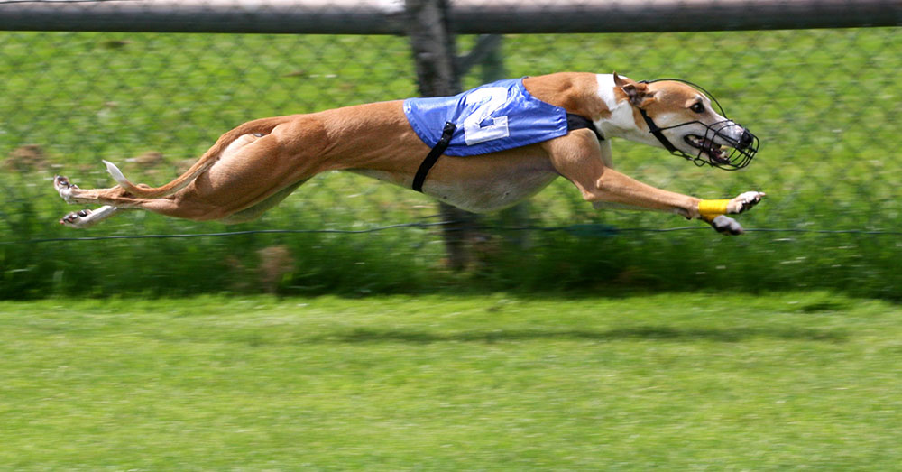 Source: Wikimedia Commons Greyhound racing was banned in New South Wales in 2016, but the ban was overturned.