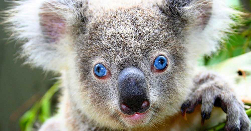 Source: Public Domain Pictures Koalas have been dying out in record numbers.