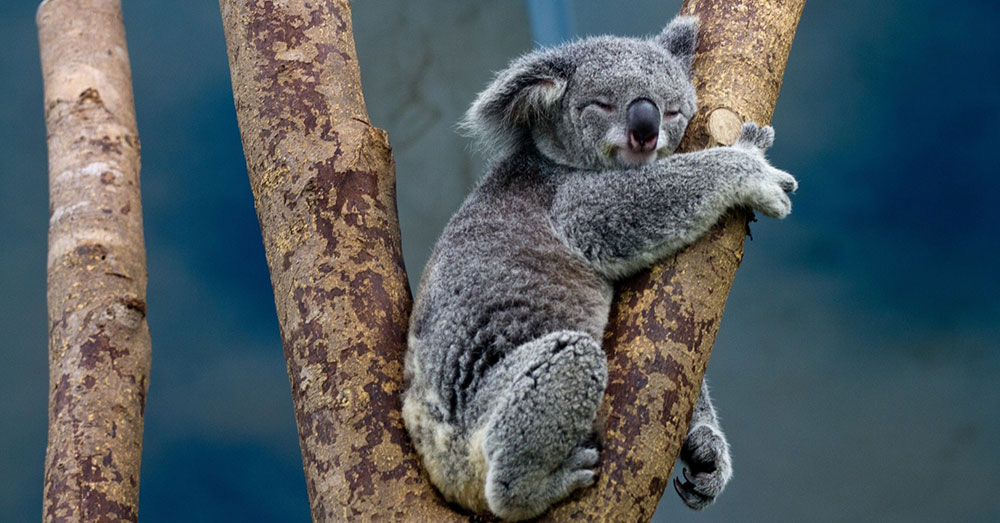 Source: Public Domain Pictures Koalas are able to eat the highly toxic eucalyptus leaves.