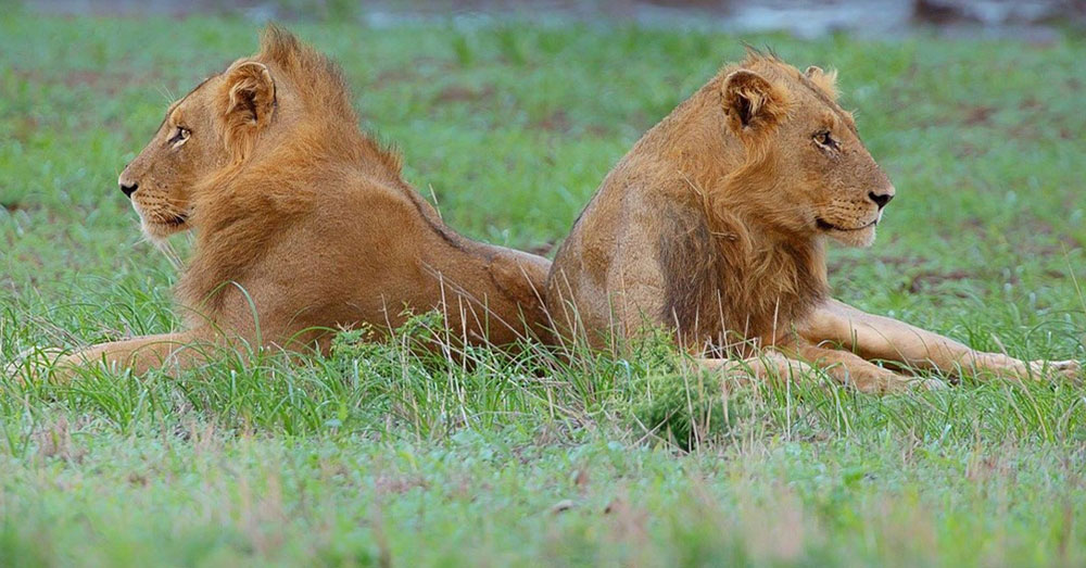 Source: Max Pixel The U.S. Fish and Wildlife Service is responsible for issuing hunted lion permits.