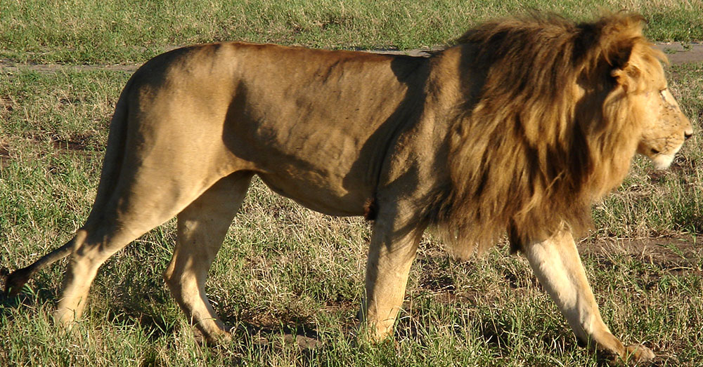 Source: Wikimedia Commons Two subspecies of African lions were added to the federally recognized endangered species list in 2015.
