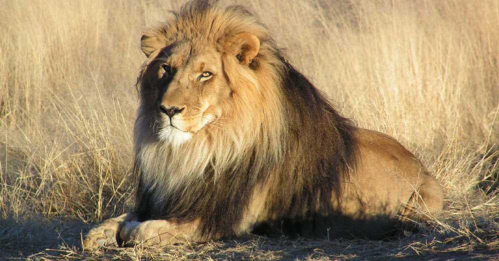 Source: Wikimedia Commons The permits allowed for 38 dead lions to be transported back to the U.S.
