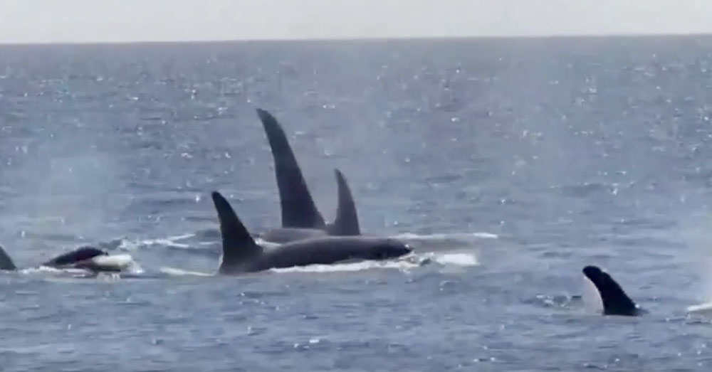 Source: YouTube/Center for Whale Research A pod of Southern Resident killer whales.