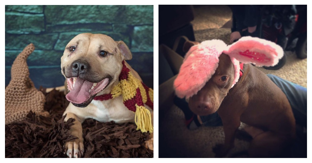 Two saved Pit Bulls Photo: Facebook/Bark Nation