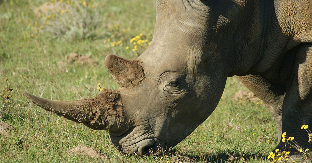 Source: Pixabay The poachers were after rhinoceroses, presumably for their horns.