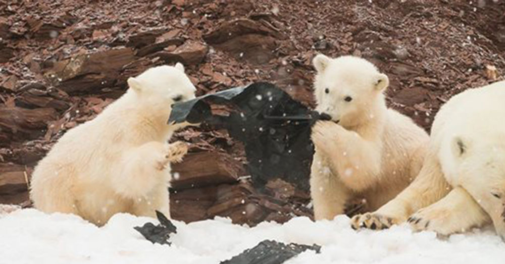 Source: Goodfullness The bears play with the plastic, even mistaking it for food.