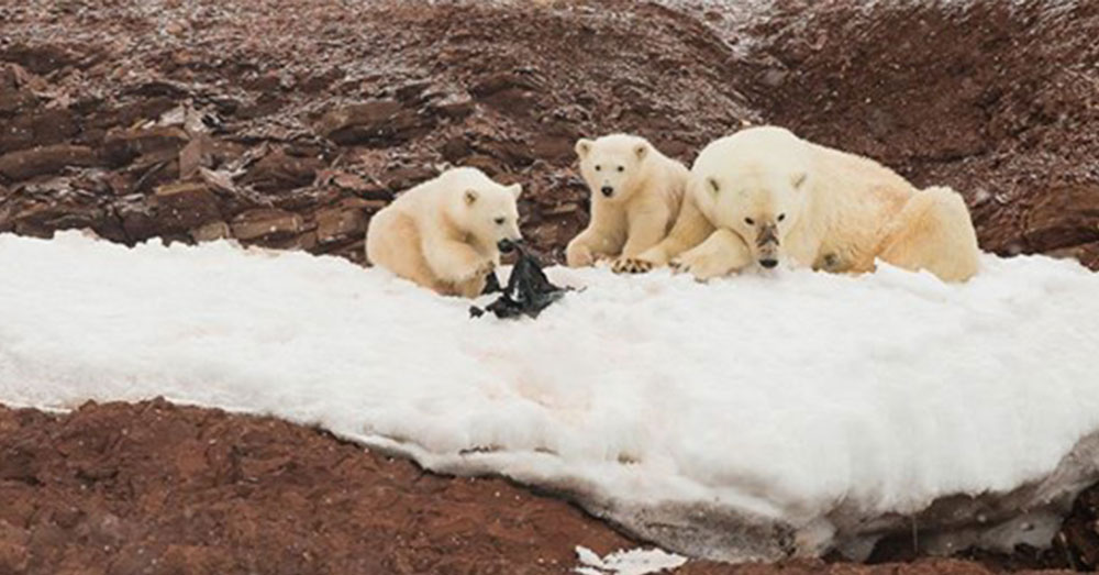 Source: Goodfullness The polar bears have found something in the ocean.