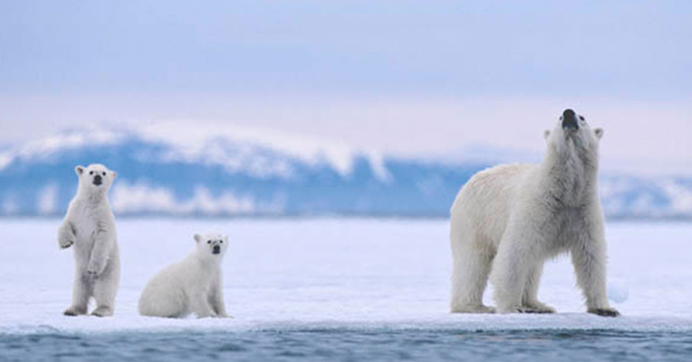 Source: flickr/jidanchaomian Are we driving polar bears to extinction? It seems so.