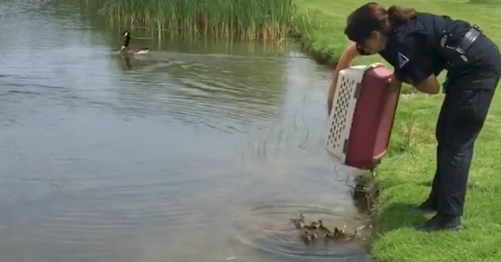 Source: Facebook/South Winds Golf Club Animal control officer Diane Desrosiers drops the ducklings into the golf club pond.