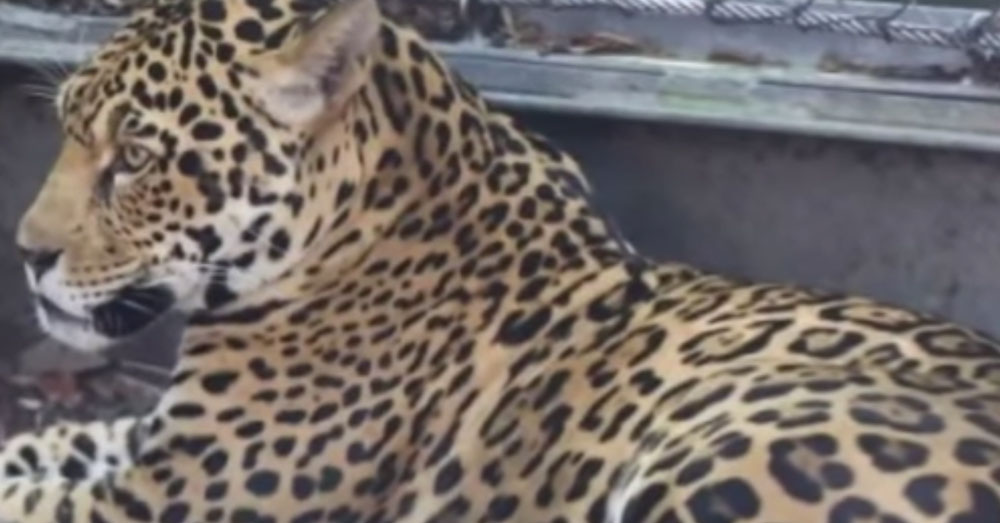 Source: YouTube/WWLTV Valerio is a 3-year-old male jaguar.