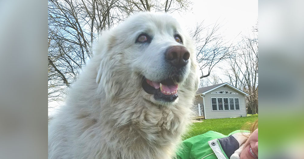 Source: Facebook/Julie Gill  McKayla is a 12-year-old Great Pyrenees.