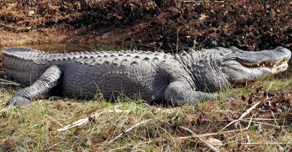 alligator-attack-2