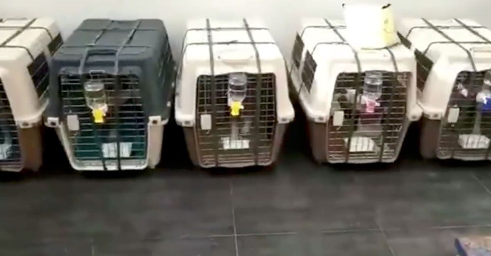Source: Facebook/Triangle Beagle Rescue of North Carolina Beagles in crates await their trip to the U.S.