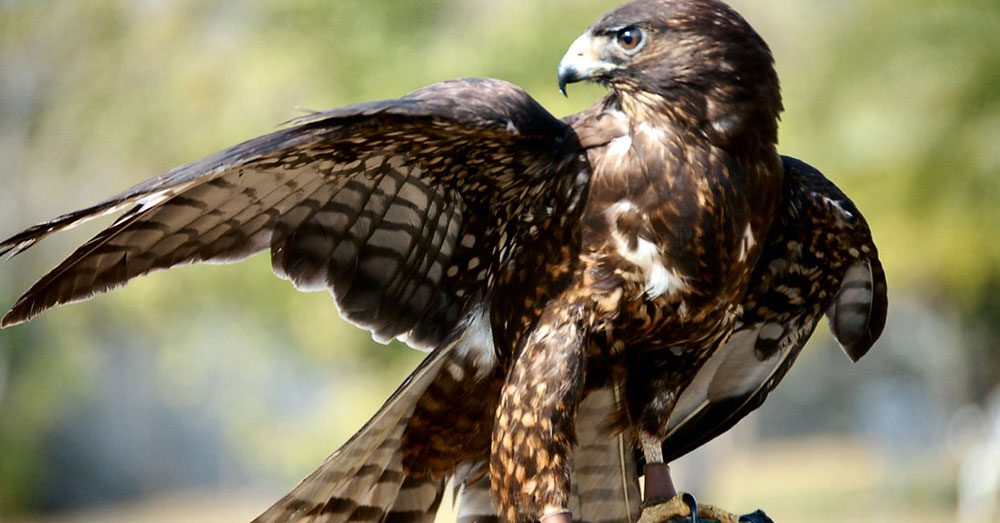 Source: Wikimedia Commons A hawk eying the chickens tried to swoop in and grab one.