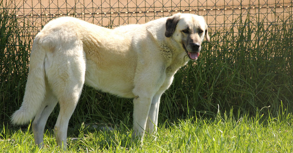 Source: flickr/Jon Mountjoy Thanks to their Anatolian Shepherd - Great Pyrenees mix Cooper, the chickens are safe!