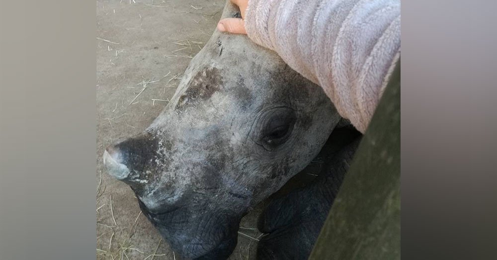 Source: Facebook/The Rhino Orphanage Davi has since met two other orphaned rhinos.