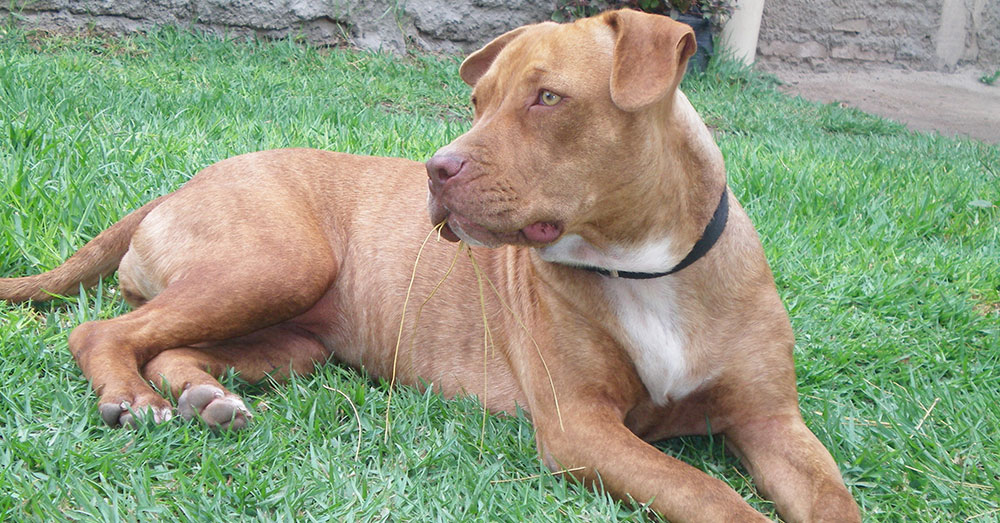 Source:  A Pit Bull was also surrendered, though it's unknown if the dog was also abused.