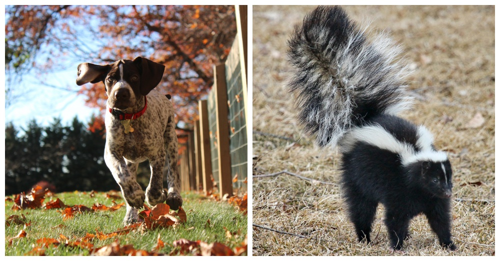 dog-vs-skunk-1