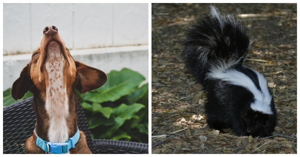 dog-vs-skunk-2