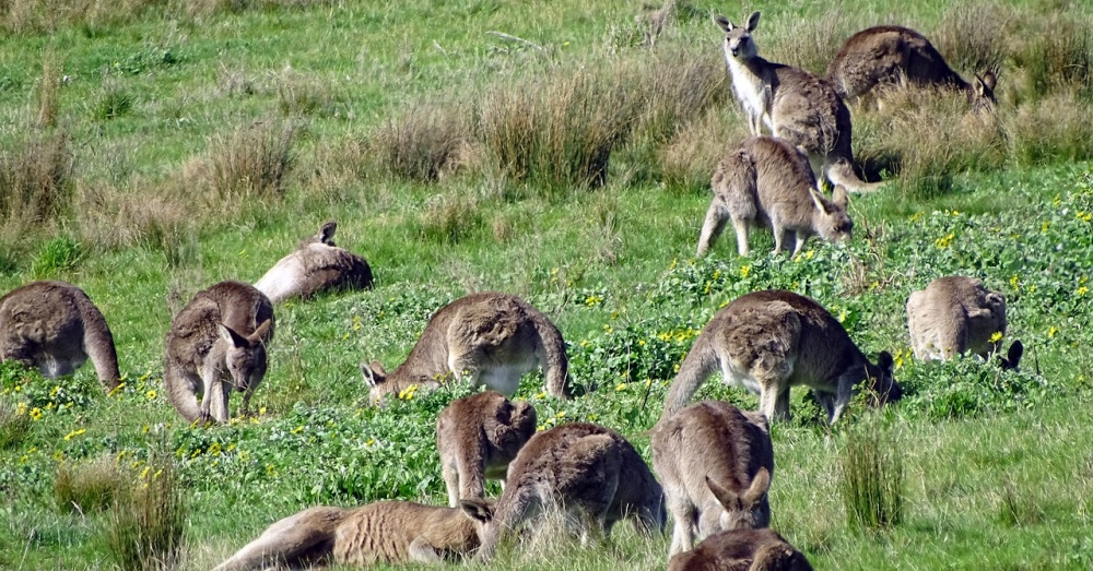 farmers-vs-kangaroos-4