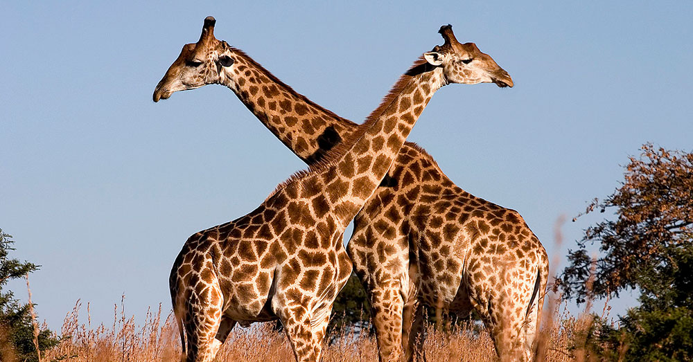 Source: Wikimedia Commons At least 40,000 giraffe parts have been imported into the U.S. in the last decade.