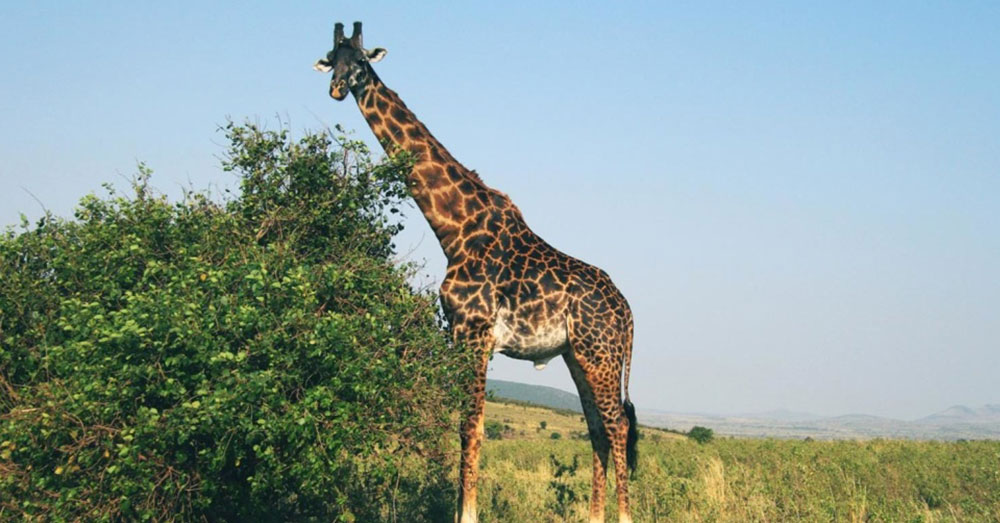 Source: Pixnio Giraffes are not recognized as vulnerable or endangered by the U.S. Fish and Wildlife Service.