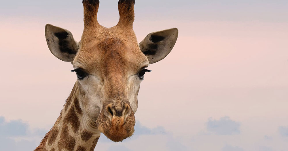 Source: Pexels An HSI investigation found 51 different giraffe part retailers in the U.S.