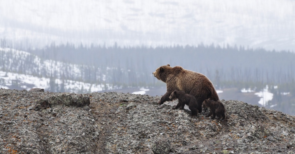 grizzly-bear-hunting-3