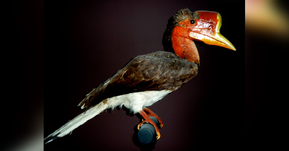 Source: Wikimedia Commons The Helmeted Hornbill lives in the lowlands of southeastern Asia.