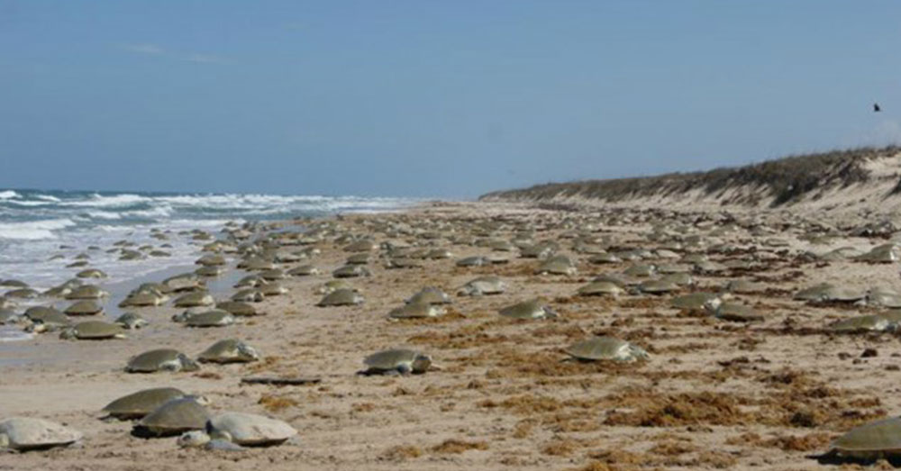 Source: National Park Service During the arribada, thousands of turtles come ashore to lay eggs.