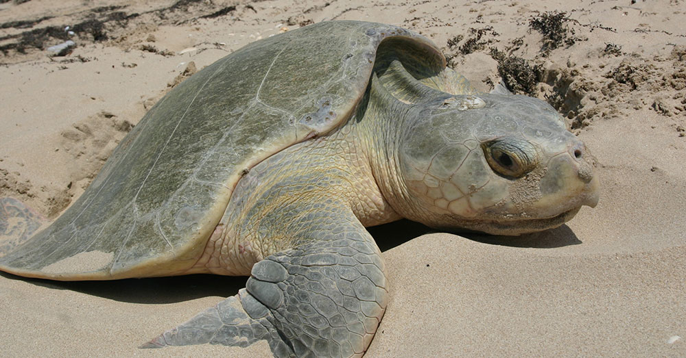 Source: Wikimedia Commons Kemp's Ridley sea turtles are the rarest sea turtles in the world.