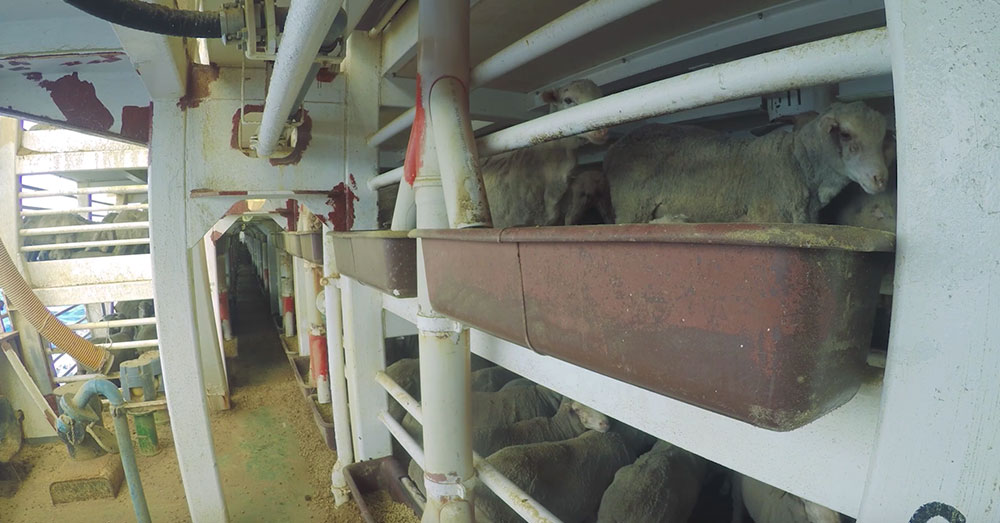 Source: YouTube/Australian Livestock Exports Thousands of animals die every year from heat stress during transport.