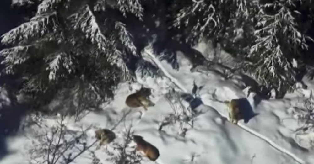 Source: YouTube/KREM2 The Loup Loup wolf pack makes its home in Okanogan County.