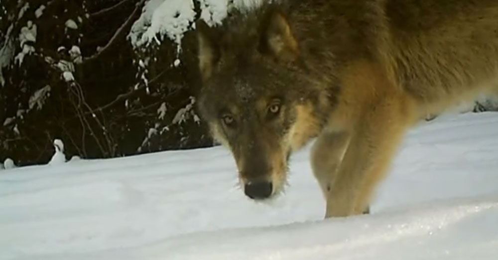 Source: YouTube/KREM2 The state Fish and Wildlife department has promised to put signs up, showing where the wolves may be present.