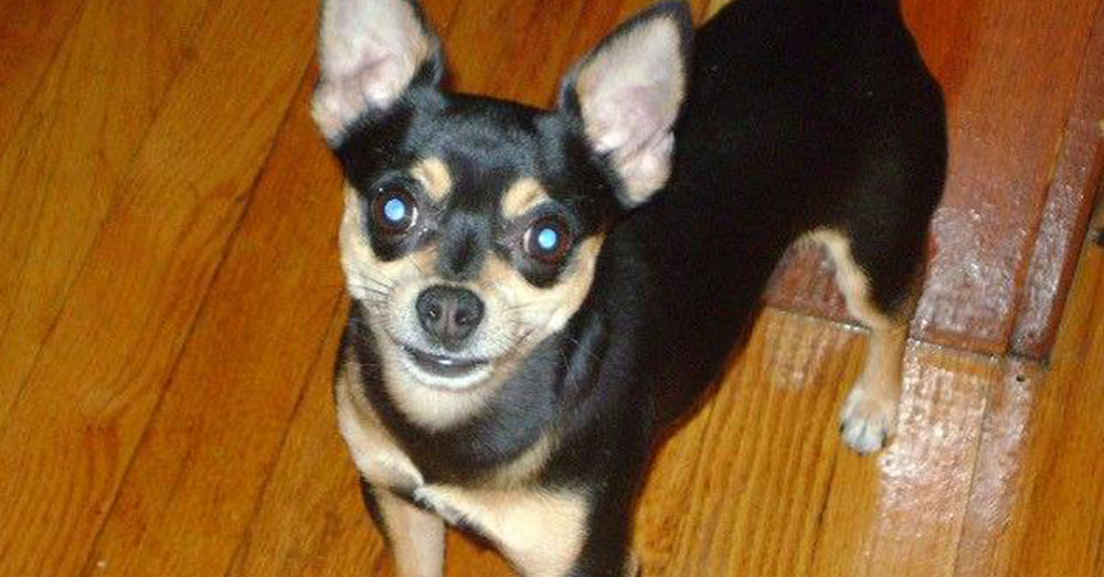 Source: Facebook/Ana Rodriguez Peanut was a 9-year-old Chihuahua.