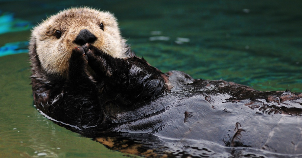 Cute otter greets visitors in traditional asian style with both hands together