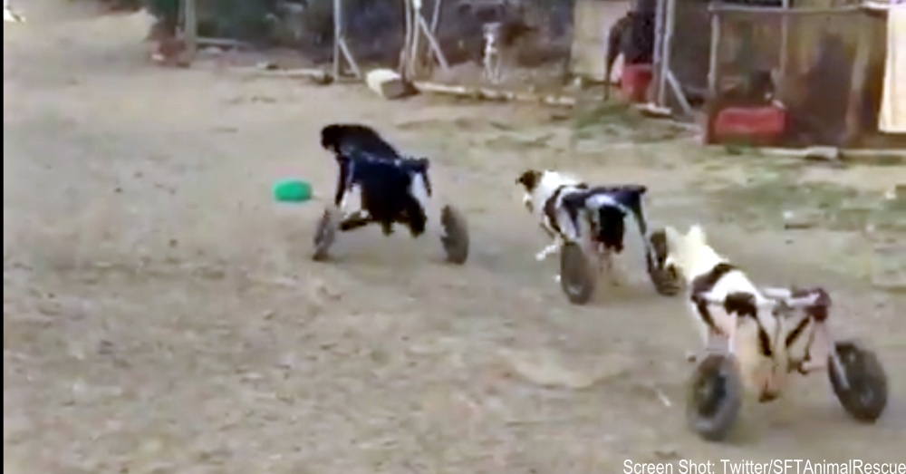 wheelie-dogs-1