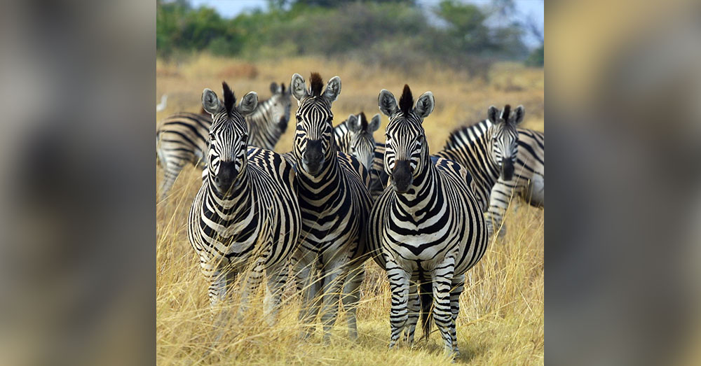Source: Wikimedia Commons This is what zebras actually look like.