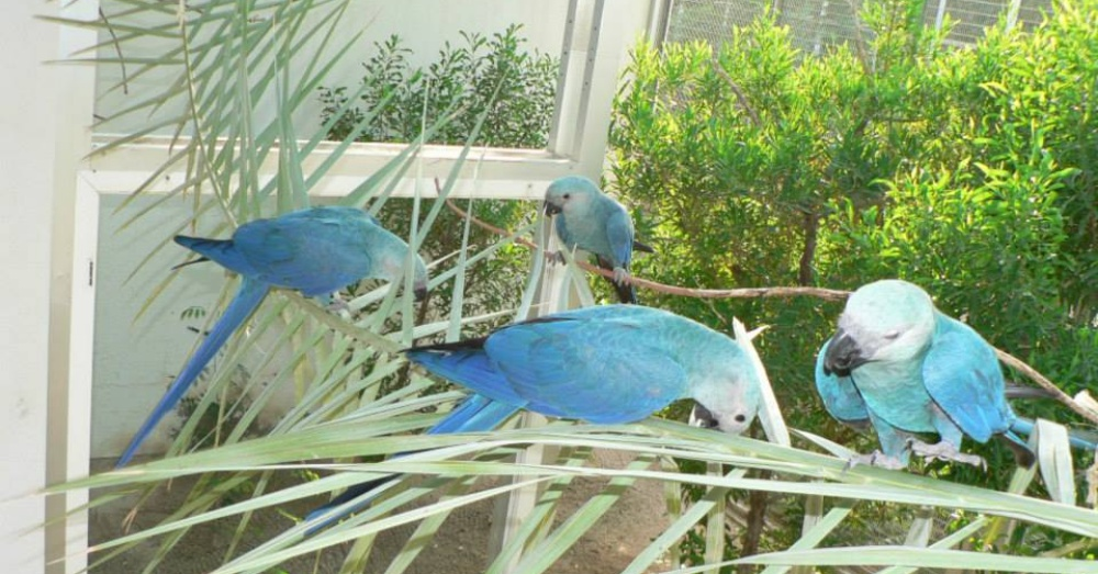 Photo: Facebook/Spix Macaw (AWWP)