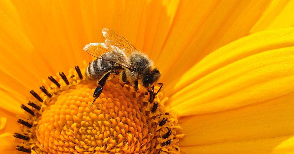 Source: PxHere Glyphosate, a chemical used in weed killer, is thought to have weakened the bees' microbiome.