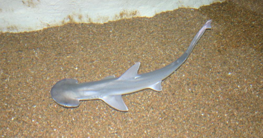 Source: Wikimedia Commons A young Bonnethead shark.