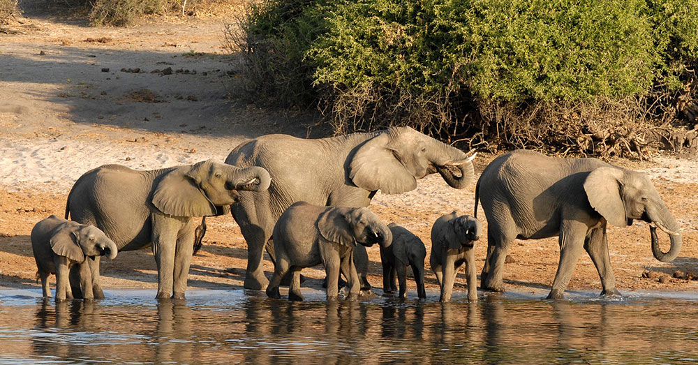 Source: Pixabay At least 37 percent of all African elephants live in Botswana.