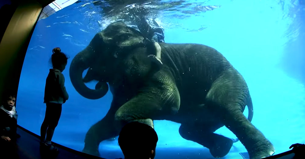 Source: YouTube/สวนสัตว์เปิดเขาเขียว Khao Kheow Open Zoo A mahout stands on an elephant's back as it swims underwater.