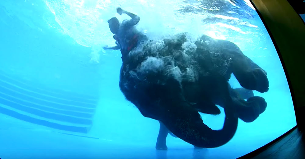 Source: YouTube/สวนสัตว์เปิดเขาเขียว Khao Kheow Open Zoo The mahout pulls the elephants ears to get her to perform.