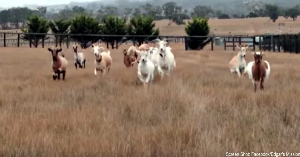 goats-running-free-1