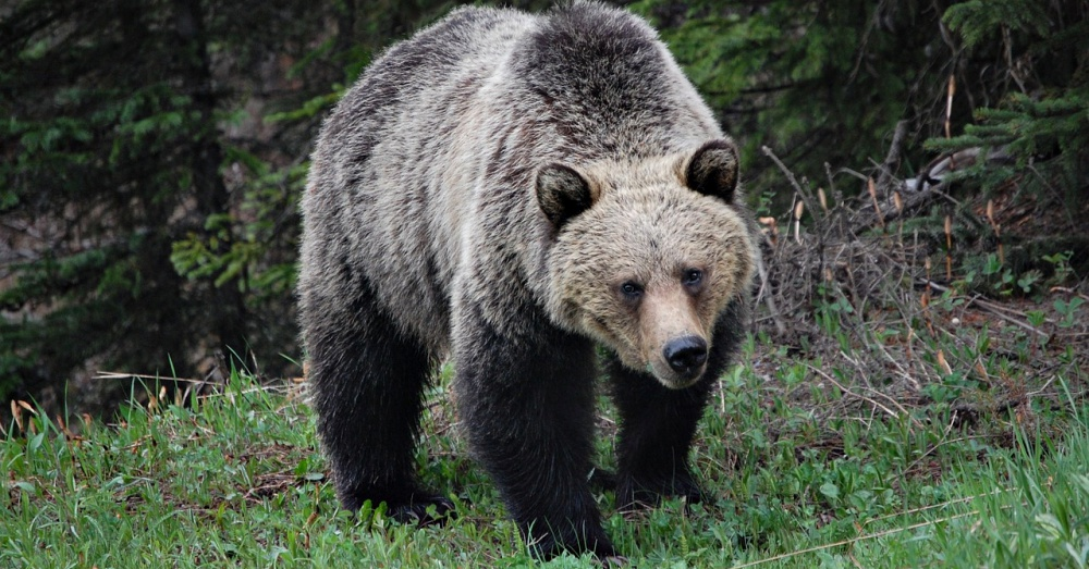 grizzlies-threatened-again-1