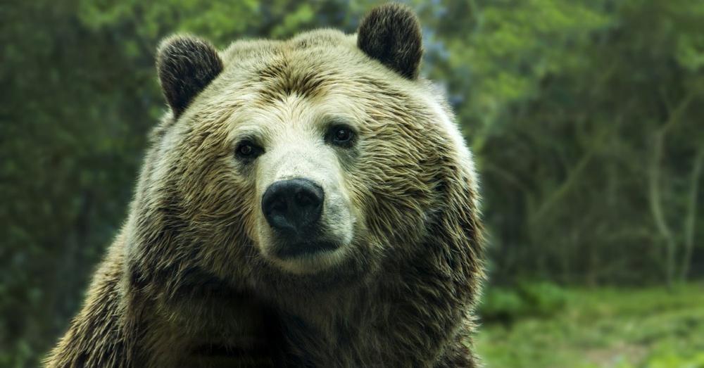 grizzlies-threatened-again-2