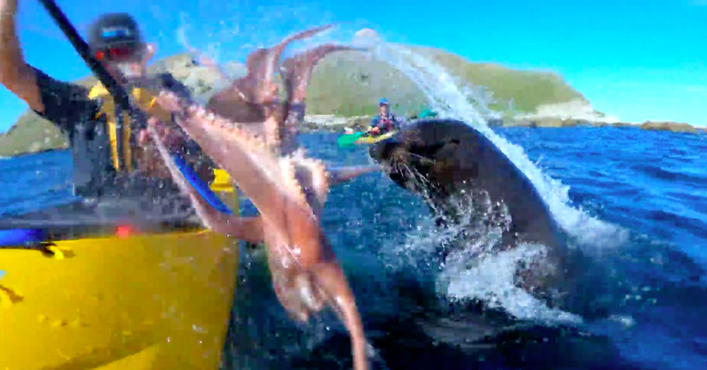 Source: YouTube/Guardian News The seal slaps Mulinder in the face with the octopus.