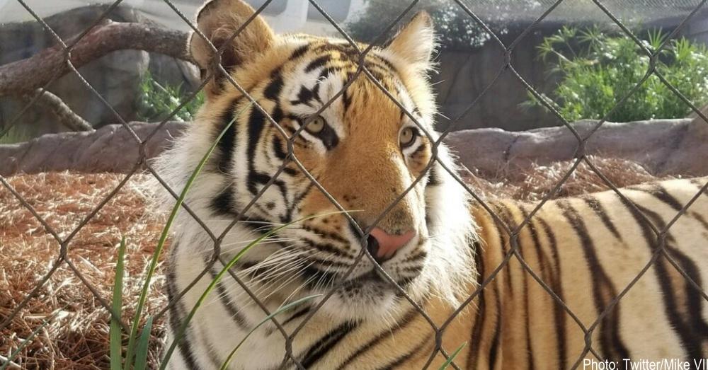 live-tiger-mascot-1