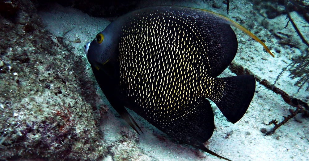 mate-for-life-angelfish
